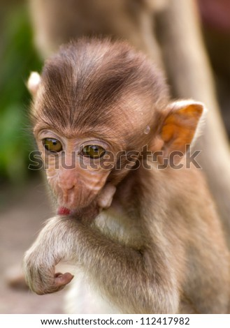 The Monkey Baby In Lopburi Of Thailand