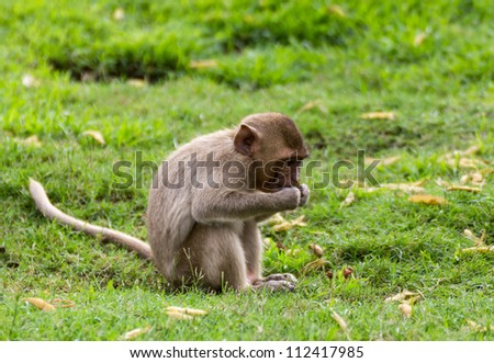 The Monkey Baby on grass In Lopburi , Thailand