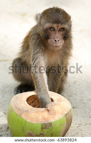 The monkey eating a fresh coconut.