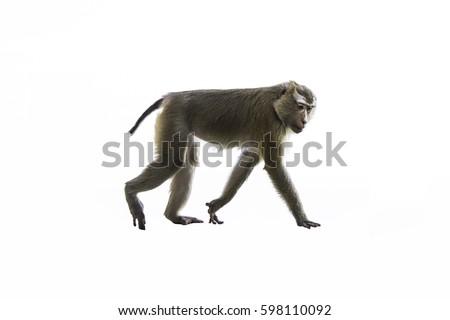 The monkey is walking #598110092