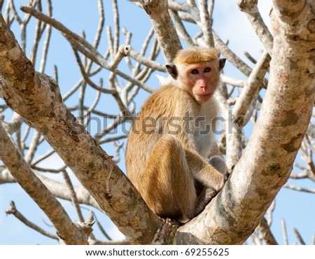 The monkey on the tree, Sri Lanka