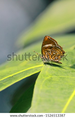the monkey puzzle butterfly (rathinda amor) is sitting on a leaf in countryside of west bengal near kolkata in india #1526513387