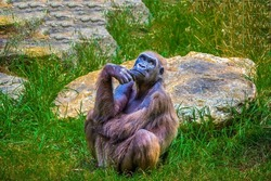 The monkey sits and thinks. A sad chimpanzee in thought