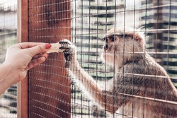 the monkey takes a banana through the hole in the cage, the girl's hands hold out a banana to the monkey at the zoo