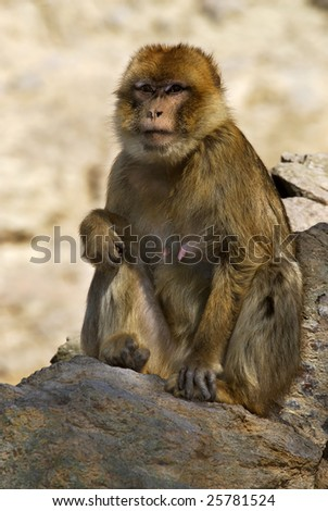 The monkey, without a tail a macaque Magot