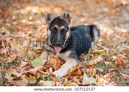 The 3-month-old puppy of a German shepherd  dog (East European sheepdog) lies on the yellow leaves and grass in autumn park. Shallow DOF.