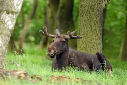 The moose (North America) or elk (Eurasia) scientific name (Alces alces) in the summer forest.Big male lying in the forest. Male with fresh antlers on green grass in the forest.