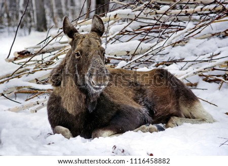 The moose or elk (Alces alces) is the largest extant species in the deer family. Moose cow resting on the snow. Moose are distinguished by the broad, flat (or palmate) antlers of the males.