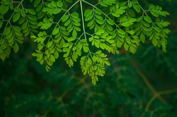 the moringa tree leaves background