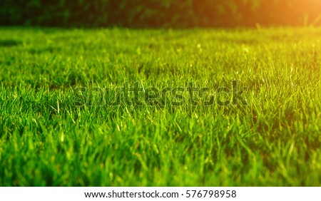 The morning sun shining on a green grass natural background texture, Close-up on a green lawn. #576798958