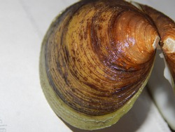 The morphology of the clam shell as seen from the outside.