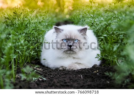 The most adorable cat. Cover style pet. Himalayan is a Persian in Siamese breed. Animal in nature, outdoor. Golden warm photo, green carrots, black ground, sunset, summer. Top 10 fluffy cat breeds.
