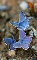 The most beautiful are blue butterflies.