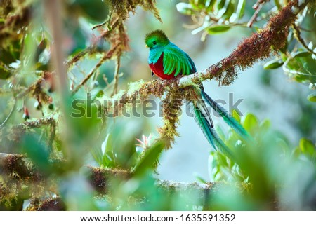 The most beautiful bird of Central America. Resplendent quetzal (Pharomachrus mocinno) Sitting ma branches covered with moss. Beautiful green quetzal with red belly. Сток-фото ©