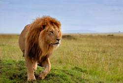 The most beautiful lion of the Masai Mara