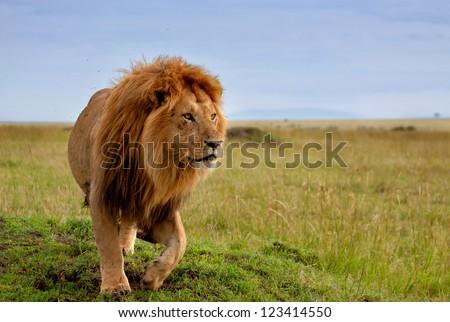 The most beautiful lion of the Masai Mara