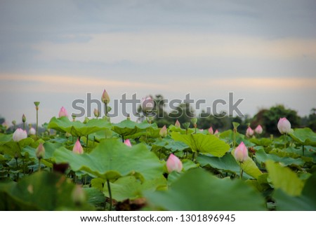 Pink Lotus Flowers In Cambodia Free Images And Photos Avopixcom