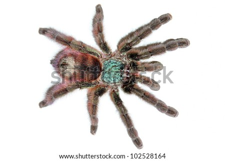 The most beautiful tarantula species in the WORLD! The Martinique Bird Eater! Isolated on white with room for text.