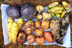 The most frecuent tubers from the Peruvian Andes (Oca, Ullucus, Arracacha, Maca, Mashua, Potatos)