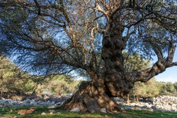 The most oldest olive trees in Croatia. Olive garden. Some of them are more then 1000 years old