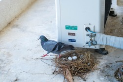 The mother pigeons are incubating the eggs, providing warmth, waiting for the baby to hatch in the nest on the balcony near the compressor of the office.