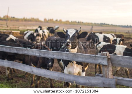 The motley cow behind the fence looks at us. There are many cows in the corral or paddock. Black and white cattle in the village.