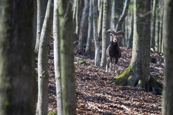 The Mouflon (Ovis ammon musimon). Large male of this small ruminant standing on the hill between the tree. Wild scene from forest with deciduous trees. Male with massive horns. Trees overgrown by moss