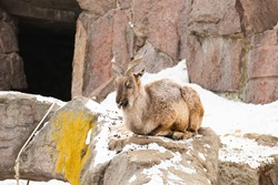 The mountain goat lies on a rock and looks into the distance against the backdrop of a rocky mountain. big and long beautiful horns.