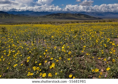 The mountains of Death Valley National Park covered in yellow wildflowers.
