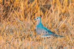 The mourning dove is a member of the dove family. The bird is also known as the American mourning dove or the rain dove.Mourning Doves are the most frequently hunted species in North America.