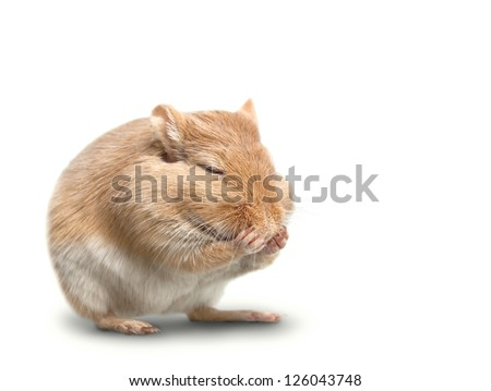 the mouse sits isolated on a white background. closed eyes paws. Gerbillinae