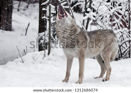 The mouth of a howling wolf. A wolf (female wolf) howls (howling, screaming) lifting its muzzle upwards and opening its mouth in a winter snow-covered forest,