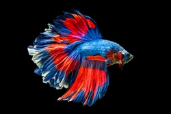 The moving moment beautiful of red and blue siamese betta fish or fancy betta splendens fighting fish in thailand on black background. Thailand called Pla-kad or half moon biting fish.