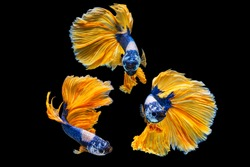 The moving moment beautiful of yellow and blue siamese betta fish or fancy betta splendens fighting fish in thailand on isolated black background. Thailand called Pla-kad or half moon biting fish.