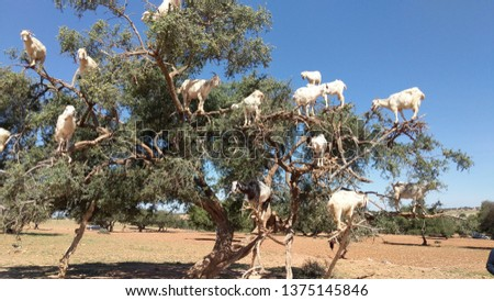 The much anticipated tree of goats! during our trip to Morocco we visited Essouaira, a coastal town, and stopped on the way to see this tree of grazing goats who, these capable climbers looked happy!