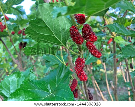 The mulberry fruits that are ripe and not ripe for health are placed in a blue basket.