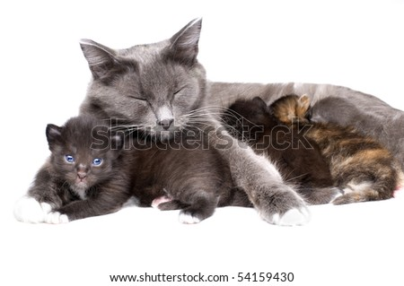 the mum-cat  embrace with  little kittens, lie on white bakground, isolated