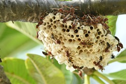 The murder hornets which now spreading in America are building their nest on a tree branches.