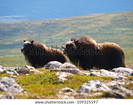 The MuskOx (Norway)