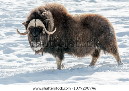 The muskox (Ovibos moschatus), also spelled musk ox and musk-ox