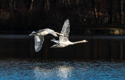 The Mute swan, Cygnus olor is a species of swan and a member of the waterfowl family Anatidae. Here flying over a lake in the English Garden in Munich, Germany