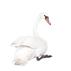 The mute swan, cygnus olor, isolated on white bacground