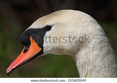 The Mute Swan (Cygnus olor) - portrait.