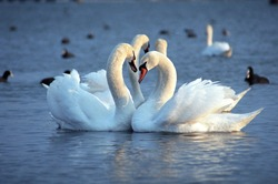 The mute swan (Cygnus olor). White swans on water. White swans swimming on river. Swimming birds