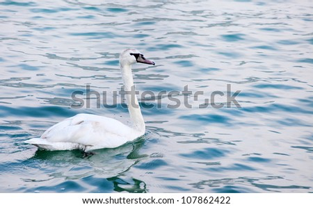 The Mute Swan or Wild Swan (Cygnus olor) on a sea level. - stock photo