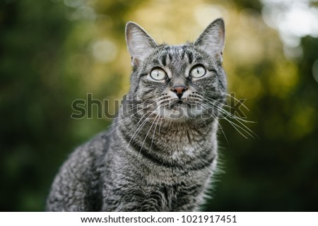 The muzzle of a brown domestic cat. The cat looks up. Yellow-green blurry background with circles. Cat's face close-up. A pet in nature. Bokeh. The village, the park. Summer.