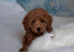 The muzzle of that red brown poodle peeks out from behind the white fur