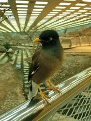Themyna(mynah) is abirdof thestarlingfamily(Sturnidae). This is a group ofpasserinebirds which are native to southernAsia, especiallyIndia,PakistanandBangladesh.
