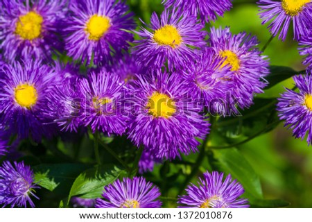 The name Aster comes from the Greek word ἀστήρ, which means the star, which means the shape of the flower head. Varieties are popular as garden plants because of their attractive and vibrant colors