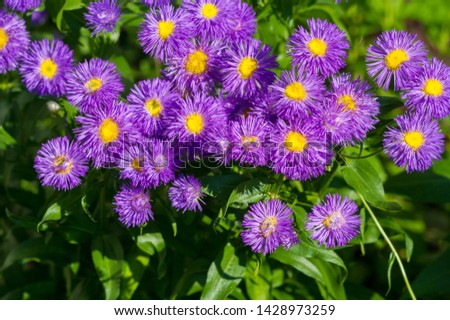 The name Aster comes from the Greek word ἀστήρ, which means the star, which means the shape of the flower head. Varieties are popular as garden plants because of their attractive and vibrant colors #1428973259